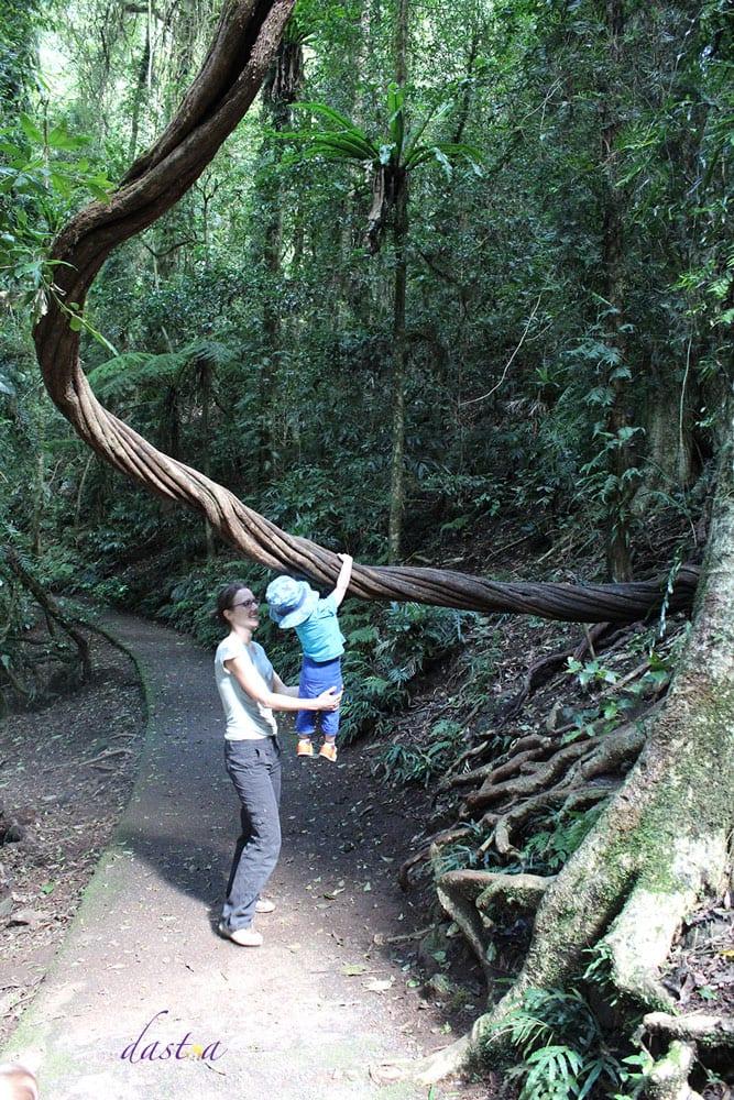 Australien mit Kindern – Dorrigo Nationalpark