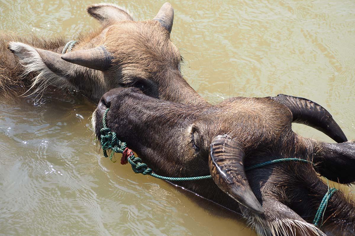 Individuelle Laos Reisen – zwei Wasserbüffel im Fluss beim Wasserfall Tad Somphamit auf Don Khon