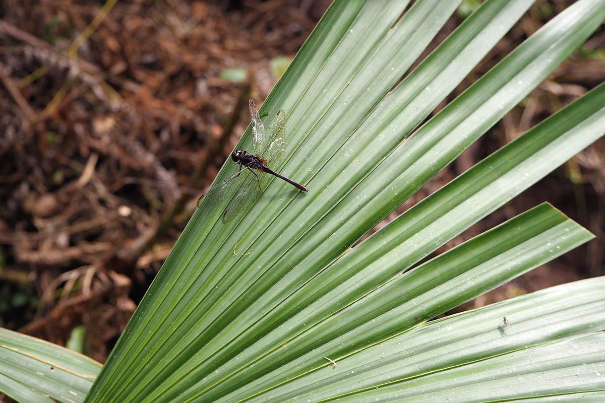 Ecuador Amazonas – große Libelle